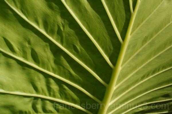 Close up green leaf veins