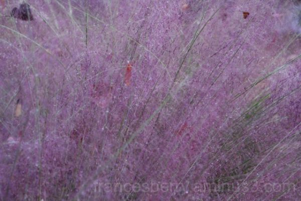 Photo of delicate purple-colored Muhly grass