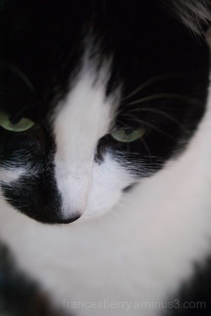 Close up photo of black and white cat