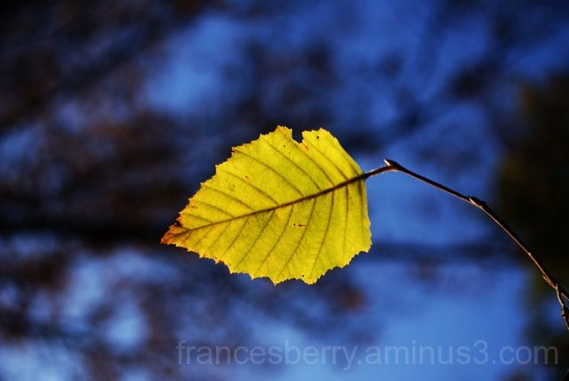 Photo of a single yellow leaf against a blue sky