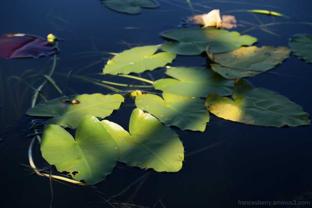 lily pads in sunshine
