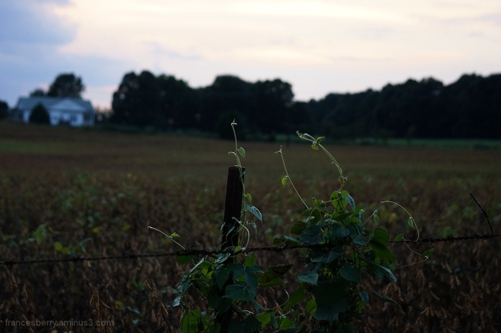 Vines and sunset, 4/5
