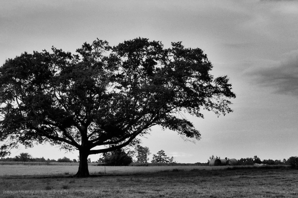 Trees in silhouette and black and white, 2/3