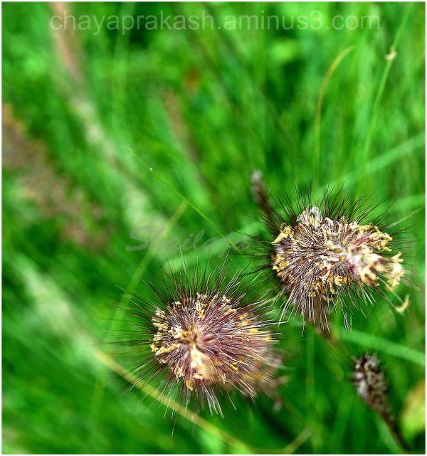 plant nature Grass