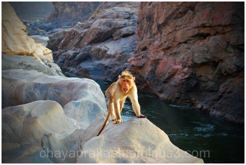 animal monkey