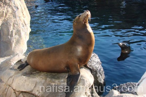 Sunbathing SeaLion