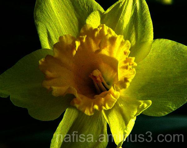 Daffodil again!