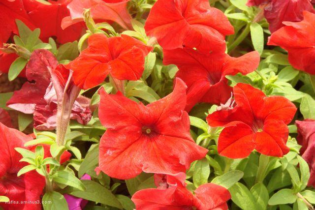 petunia,flower,red