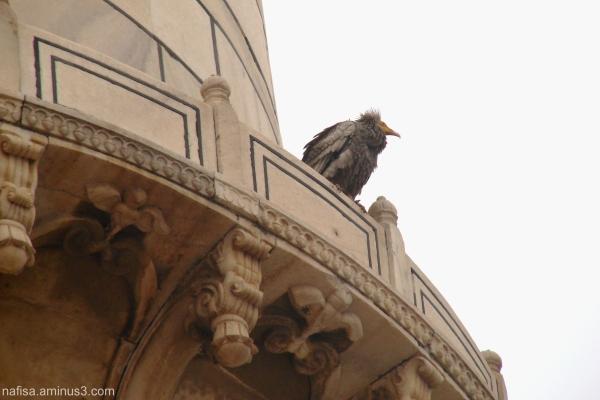 Vulture on Taj Mahal