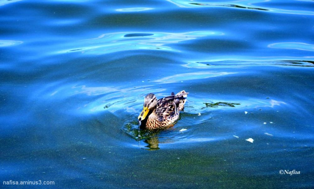 duck in wansee lake