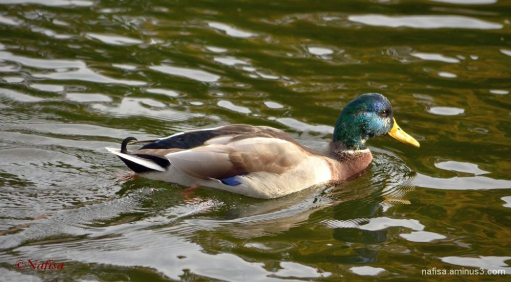 duck turned green