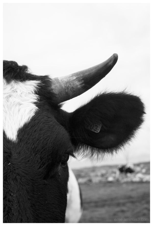 cow, black&white, close-up