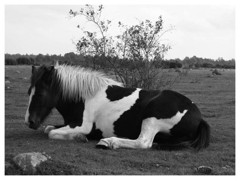 horse, black&white, resting, field, nature, animal