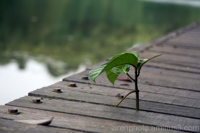 A plant growing its way through a wooden walkway.