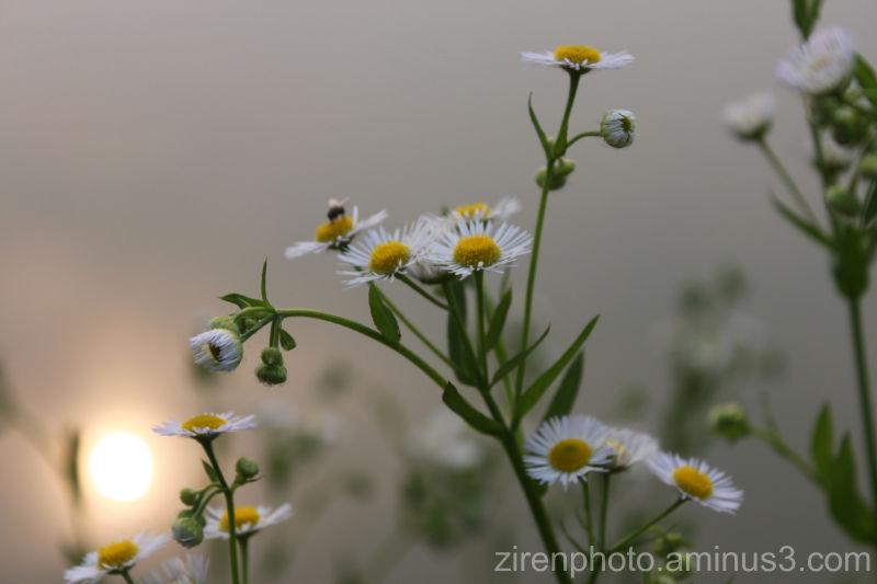 Several chrysanthemum flowers by the pond...