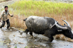 A water buffalo plowing its way through.