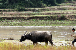 A water buffalo plowing its way through land.