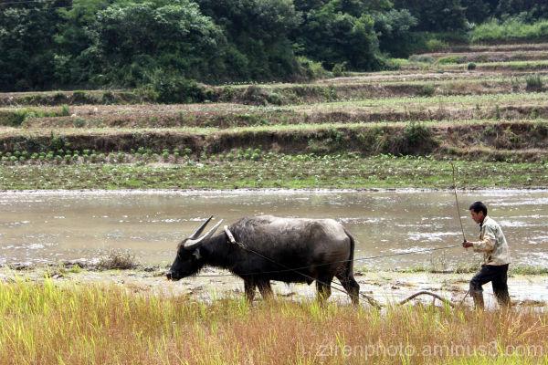 A water buffalo plowing its way through land.