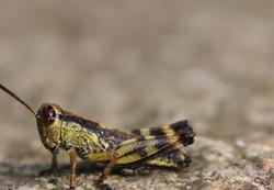 A macro shot of a tiny cricket perched at rest.