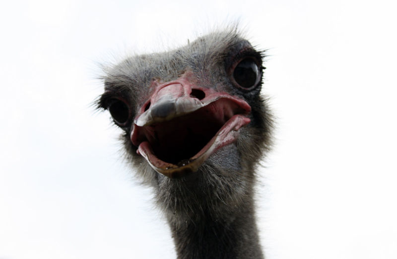 A face-to-face portrait of an ostrich in Malaysia.