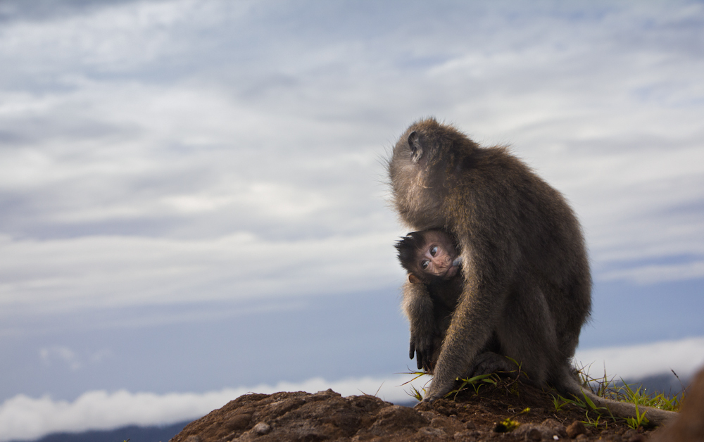 Monkeys atop Mt Batur in Bali, Indonesia.