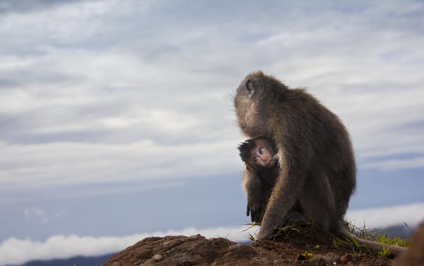 Monkeys atop Mt Batur in Bali, Indonesia.