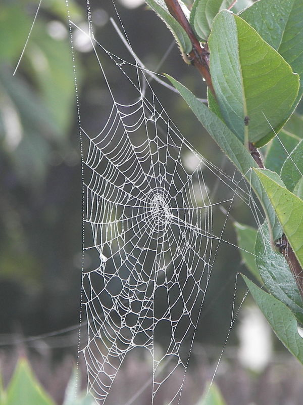 Dewdrop on a spider's web