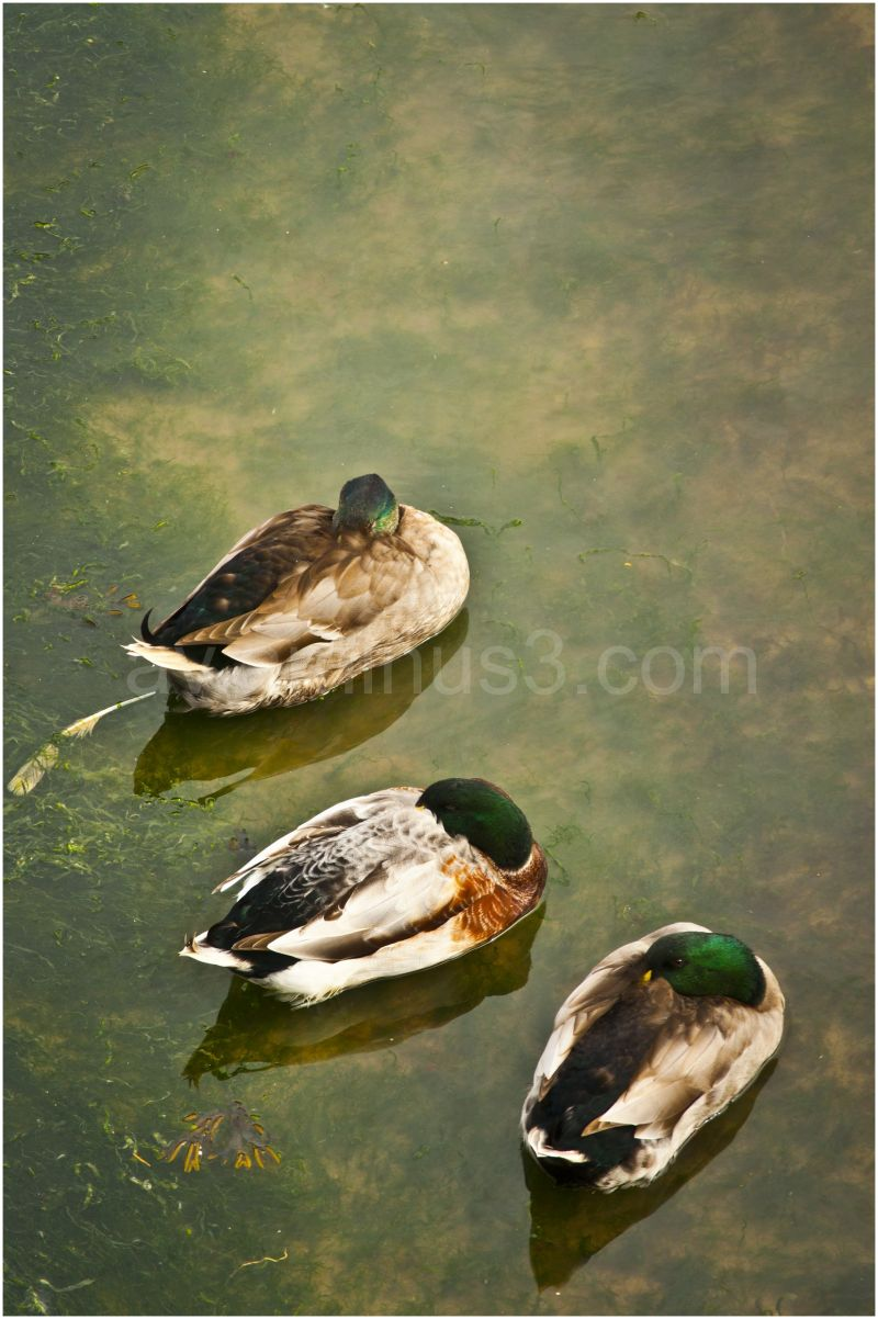 Ducks in Ramsgate
