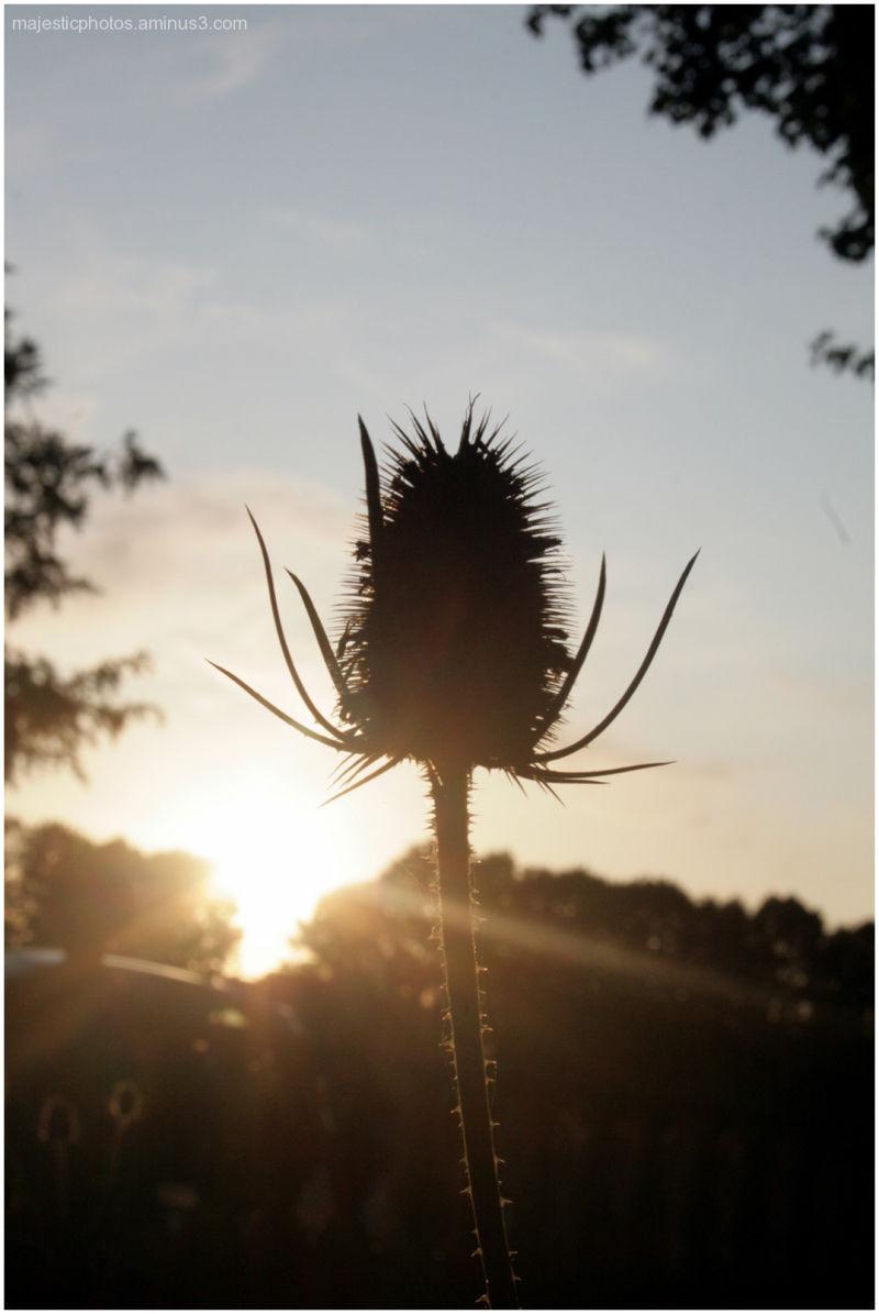 thistle dusk