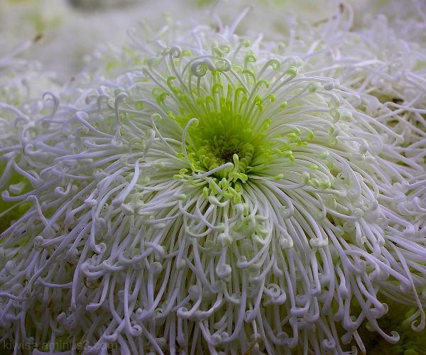 Spaghetti flower