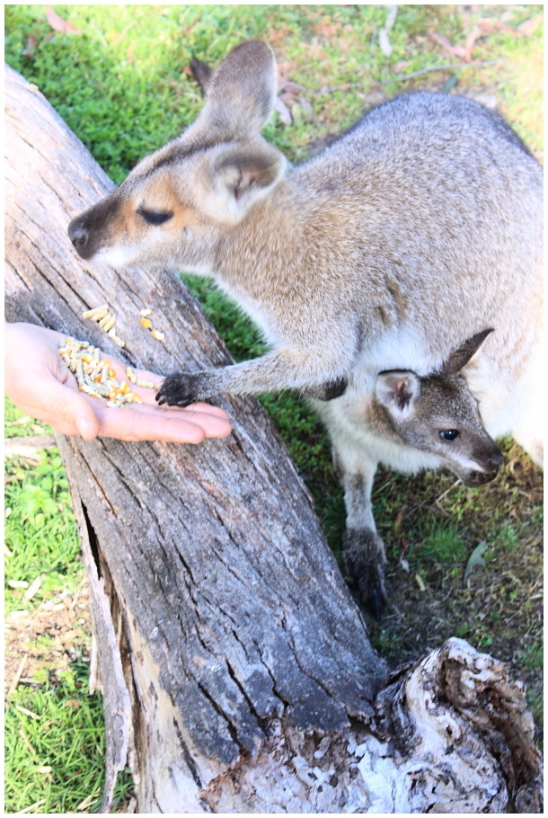 Wallaby and oey