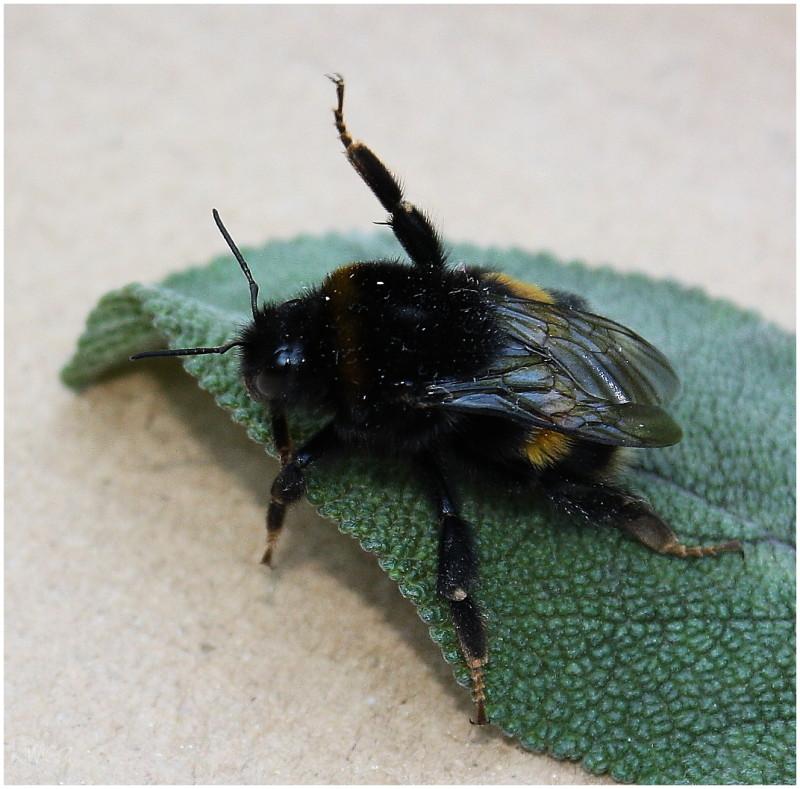 Hokey Pokey Bee