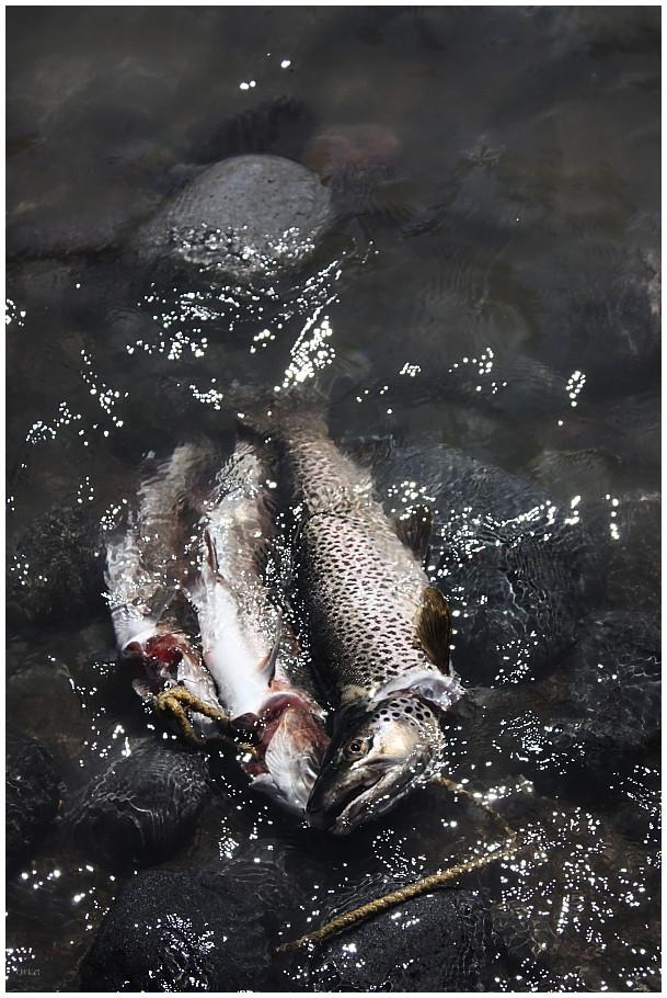 Tongariro catch