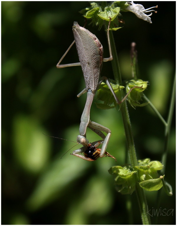 #2 Praying Mantis eating a wasp