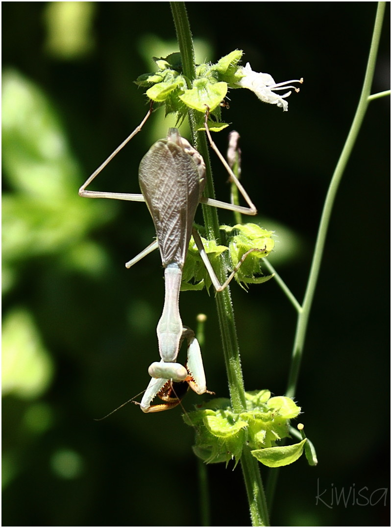 #3 Praying Mantis eating a wasp