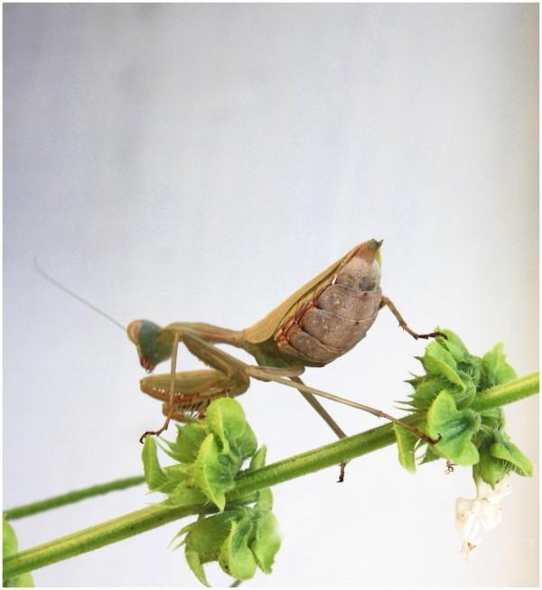 #5 Praying Mantis eating a wasp