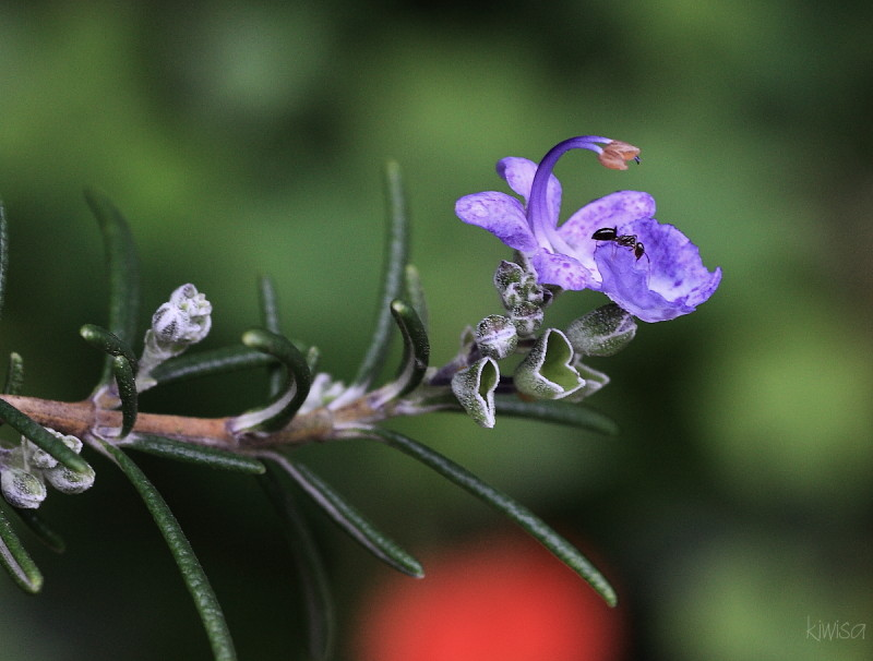 The ant and the lavender