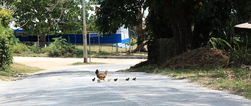 Vanuatu chicken run