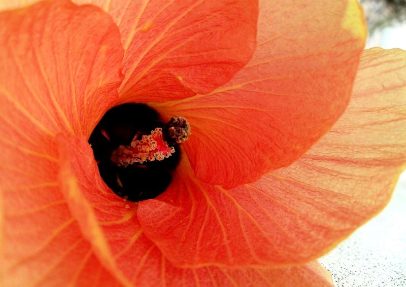 Vanuatu hibiscus