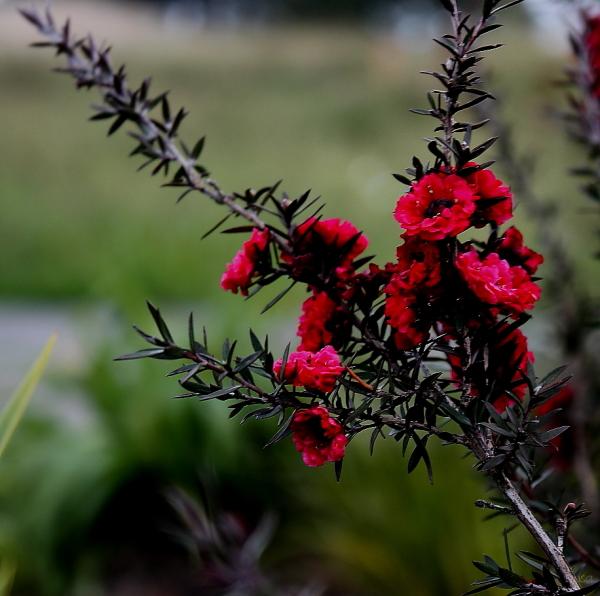 Tea-tree flower2