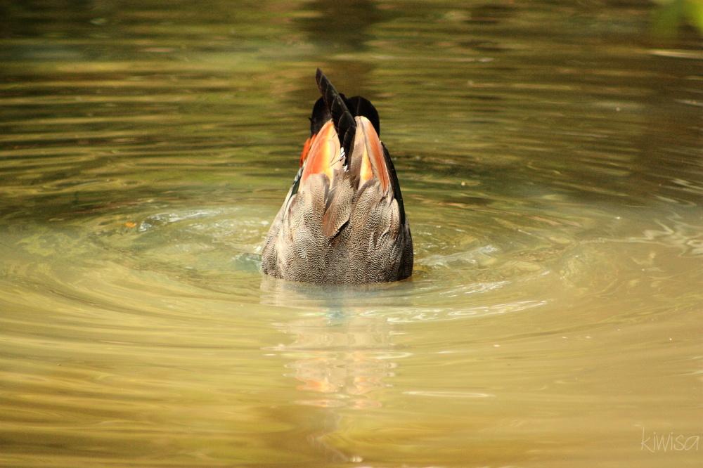 #12 Zoo: Duck