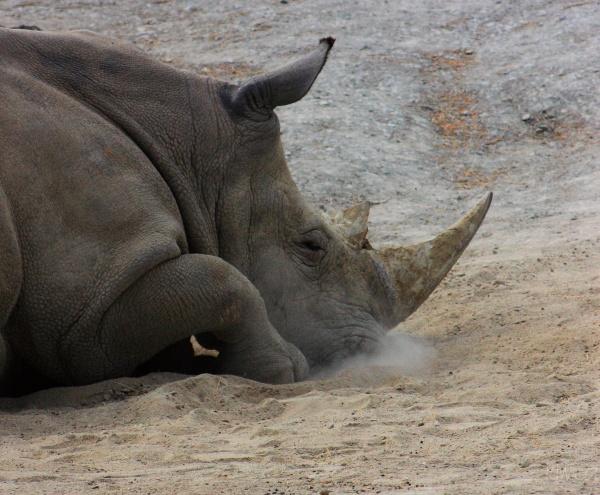 Smoking rhino