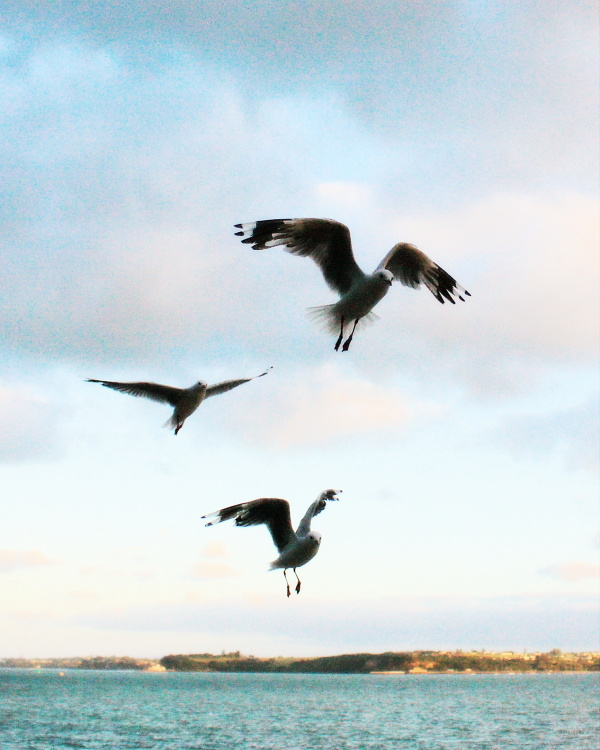 Seagulls swooping