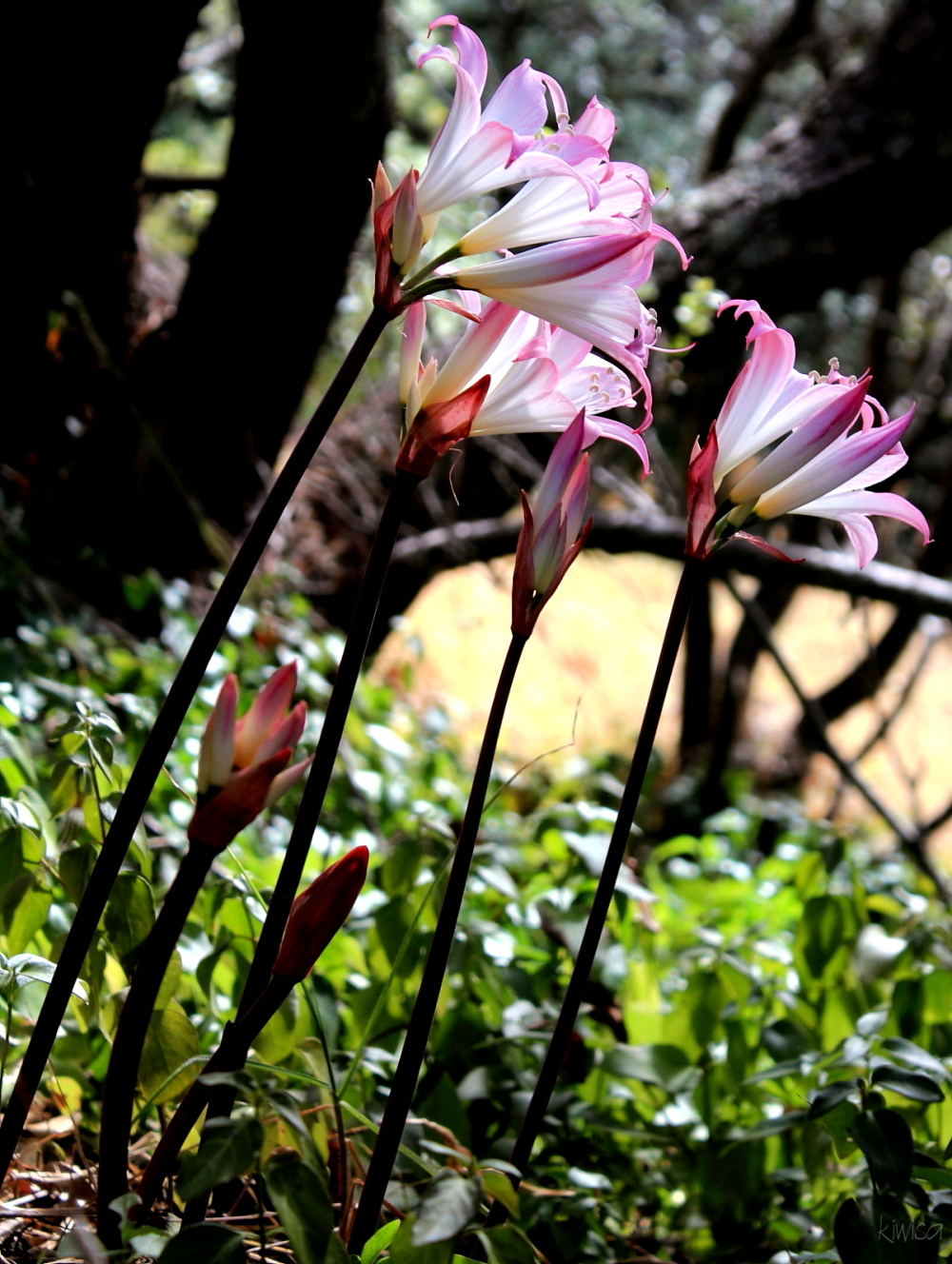 March lilies in April