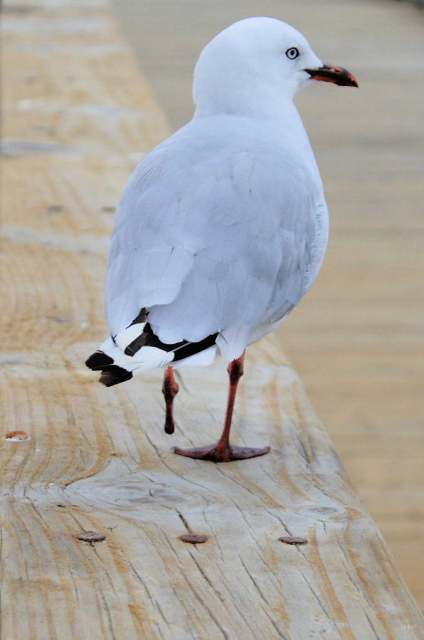 One foot gull
