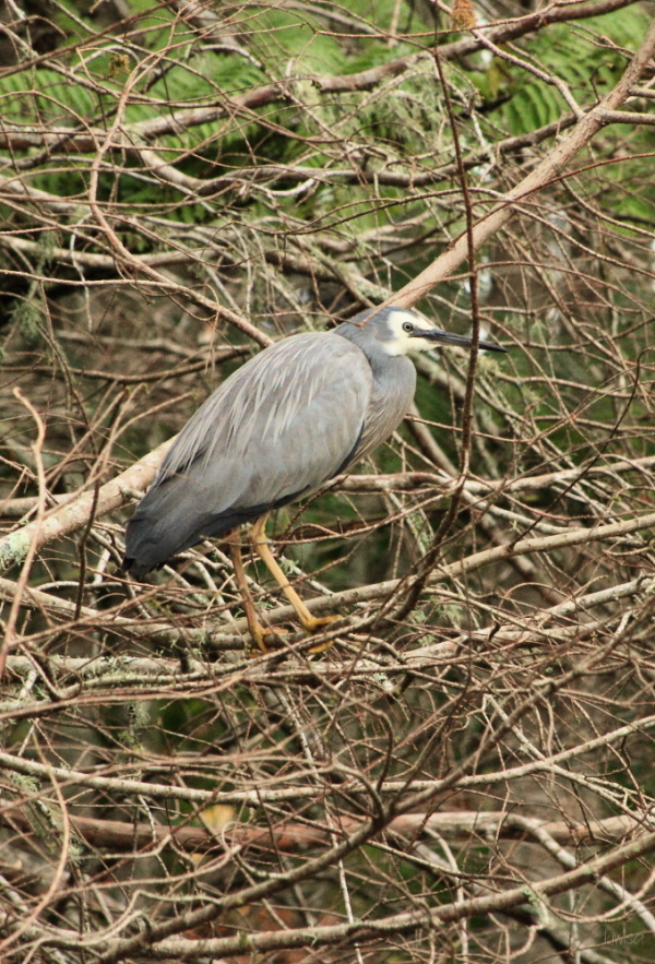 Whiteface Heron