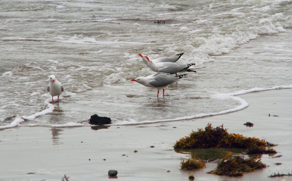 Seagull chorus