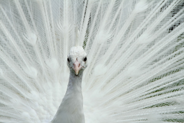 #3 White peacock