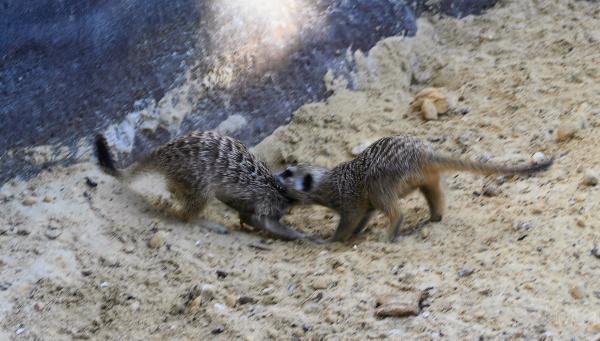 #1 Meerkat action