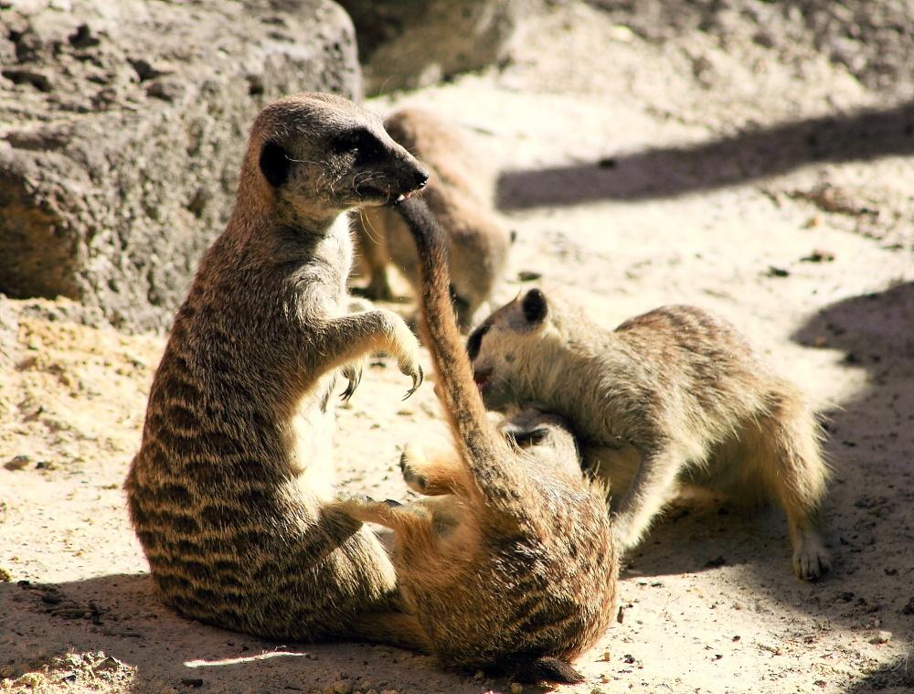 #2 Meerkat action